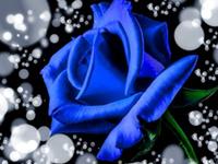 蓝色妖姬鲜花