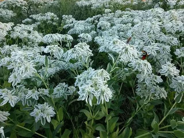 高山积雪是什么花?别名又叫银边翠