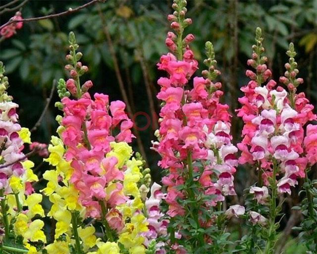 金鱼草是什么花?金鱼草的花语及寓意